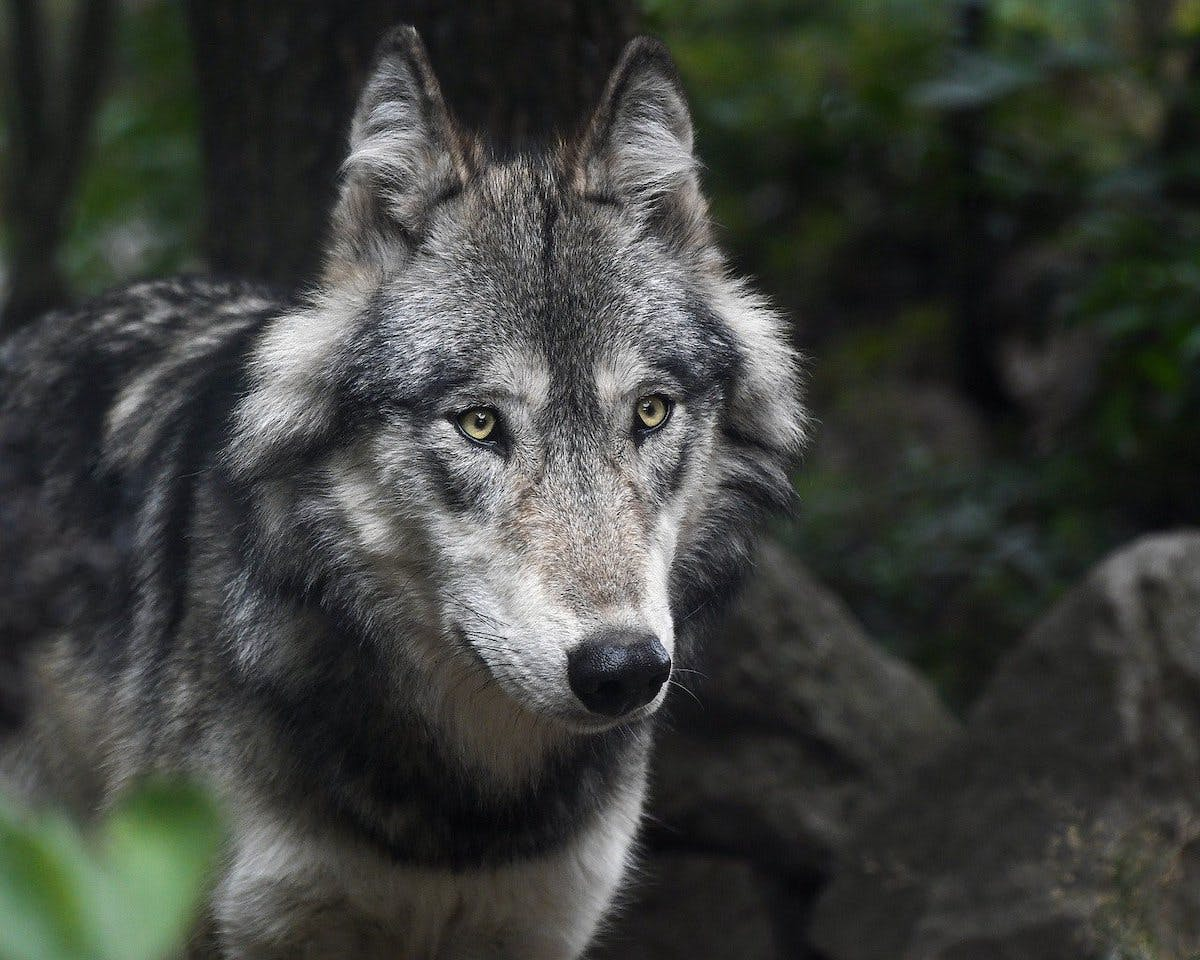A grey wolf standing in a dark forest. People are living alongside both wolves and lynx on mainland Europe. Will we see the return of large carnivores to the UK?