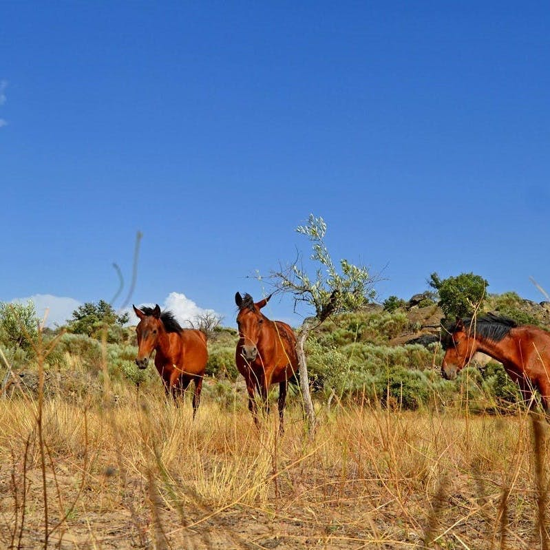 Wild roaming horses at the Faia Brava rewilding reserve, which has vulture watching hides and accommodation within the reserve as part of their nature based tourism strategy.