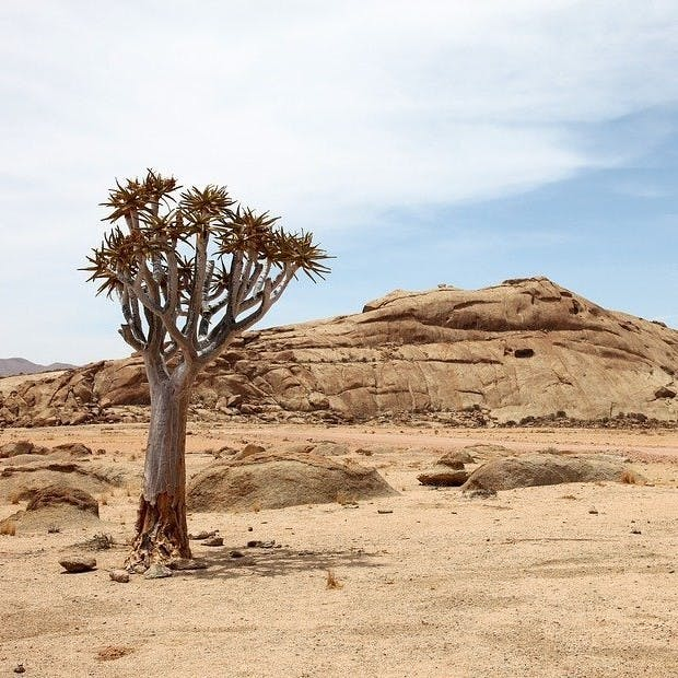 A quiver tree in a desert landscape