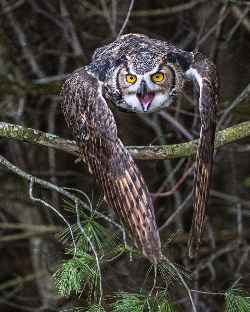 An owl in flight with its beak open.