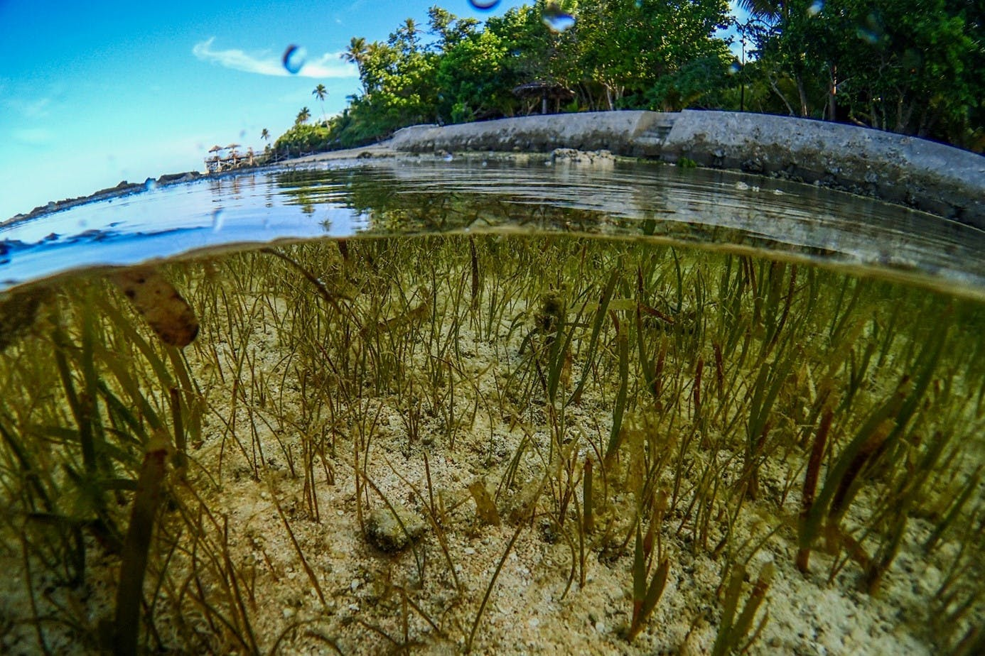 . A beautiful above and below the water image of seagrass. Seagrass has recently been recognised for its significant potential in mitigating climate change