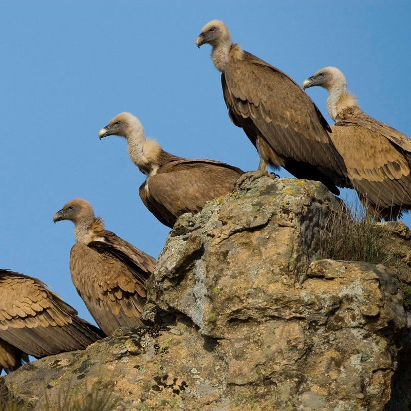 Five griffon vultures perched on a rocky cliff with a blue sky background.