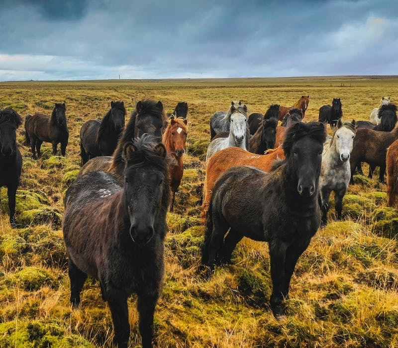 A herd of wild horses stare into the lens in a wild grasslands. Rewilding means bring lost species back to the lands they once roamed.