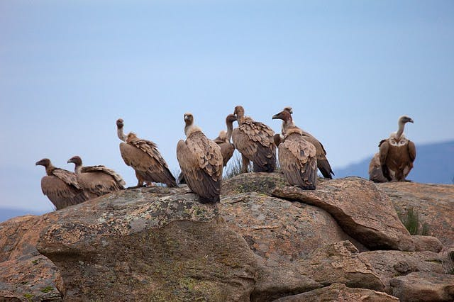 Griffon vultures gathered on a rock. Unlike most raptors, griffon vultures  are highly social. Breeding in colonies and feeding in groups.