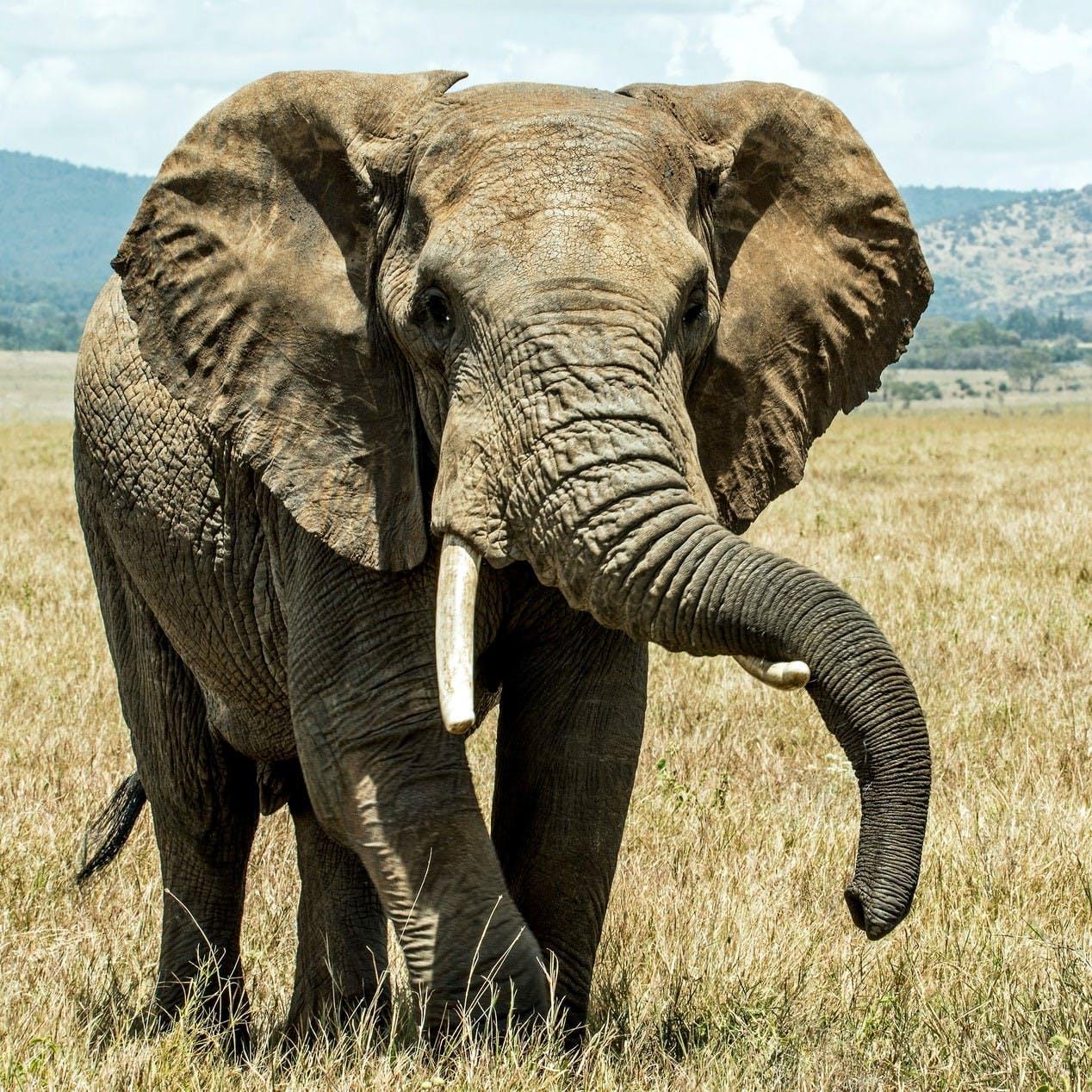 An elephant walks across a field of grass.