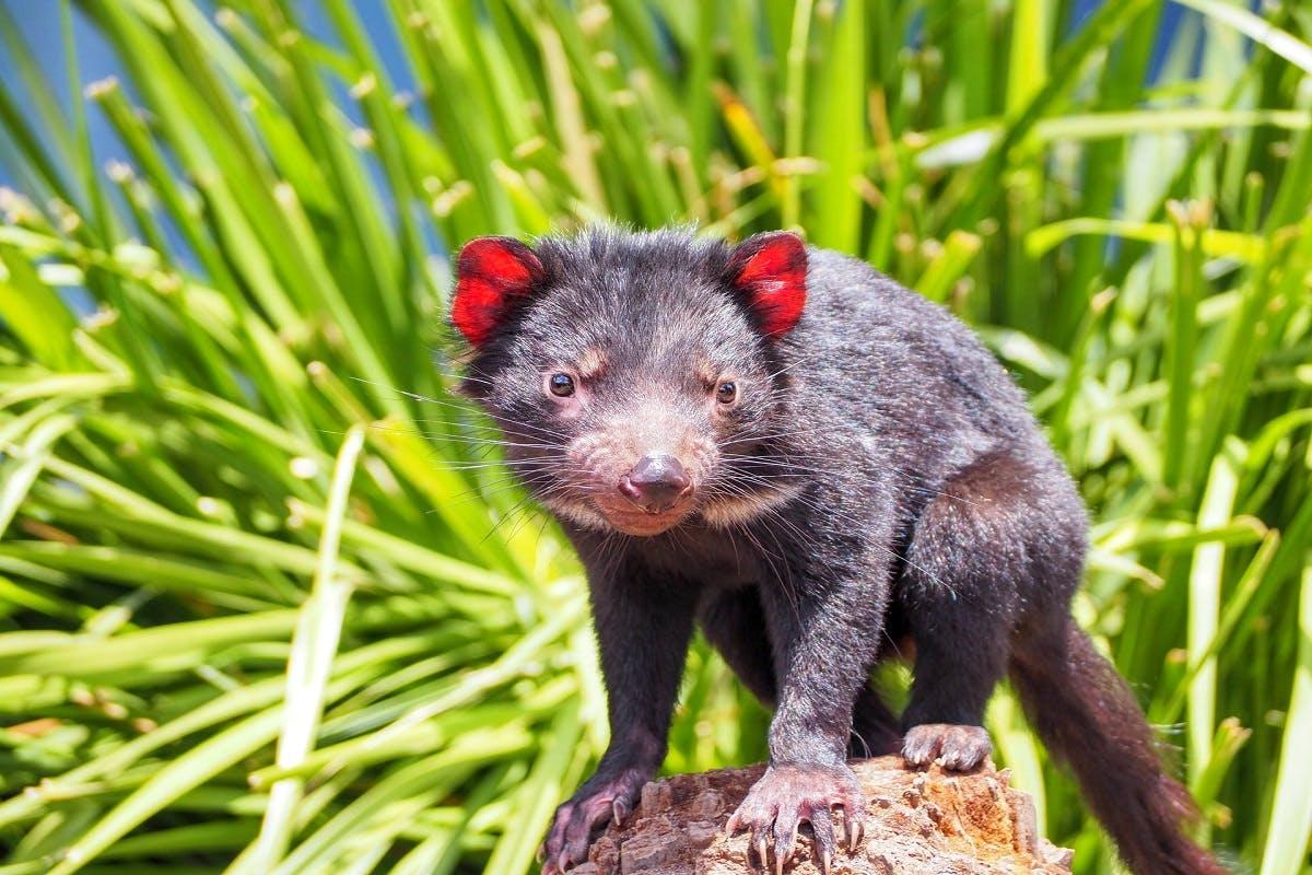 A tasmanian devil atop a rock.