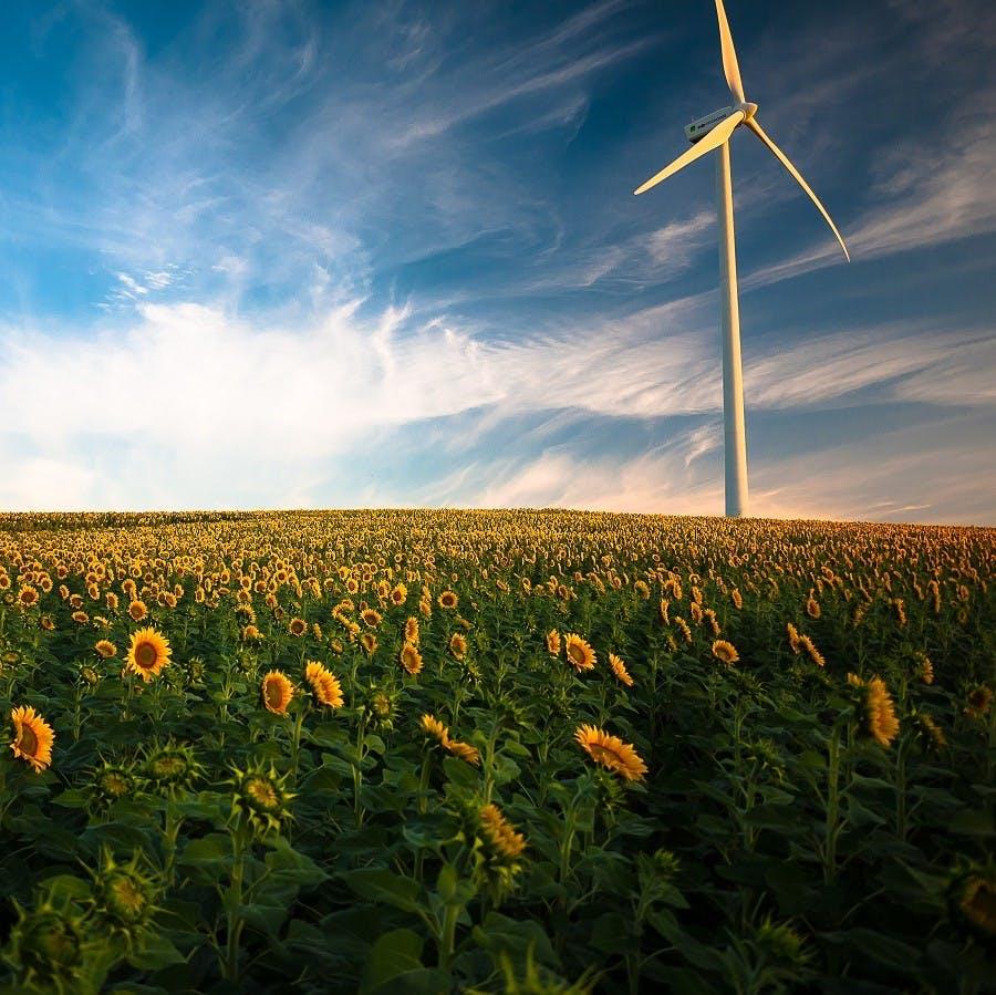 A modern wind turbine producing renewable green energy in a field of flowering sun flowers
