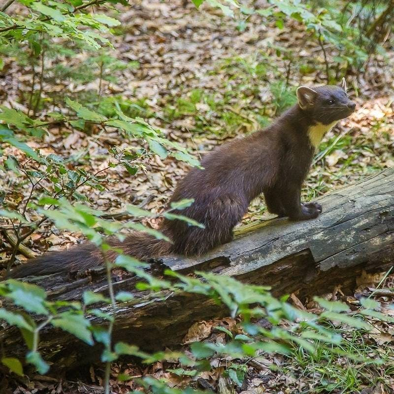 A pine marten on a log in woodland. In Ireland, the presence of pine martens has been shown to benefit native red squirrels.  This is just one of many reasons behind rewilding Ireland.