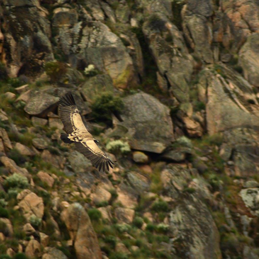 A griffon vulture soaring through the sky in the Coa / Douro Valley.