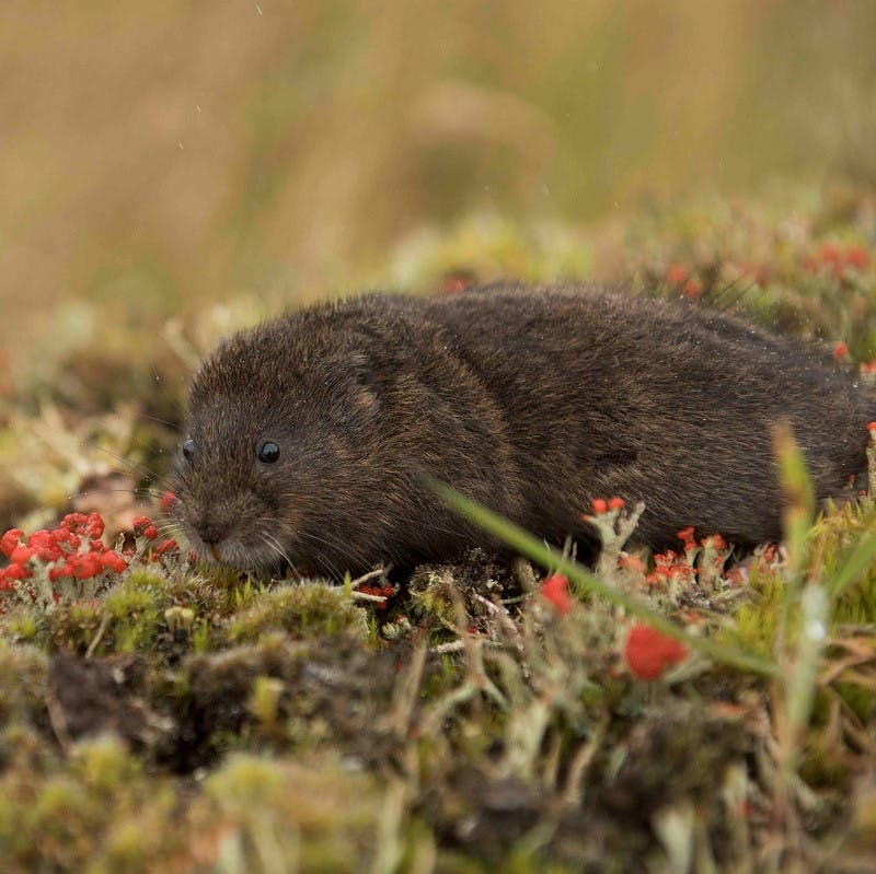 A water vole in the UK, a species which is being repopulated thanks to rewilding interventions.