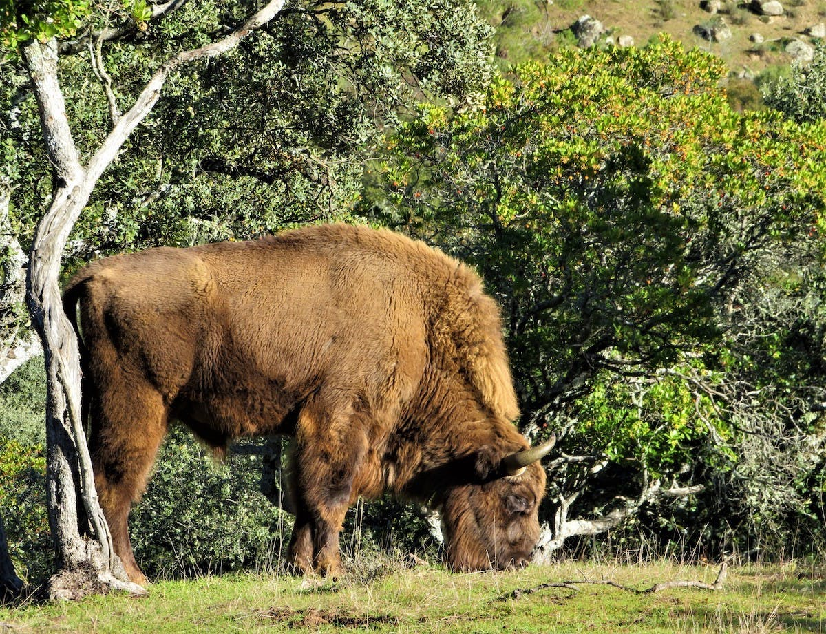 A bison stands with its heard lowered grazing on the left hand size of the image next to a dead tree. Dense green vegetation covers the background.