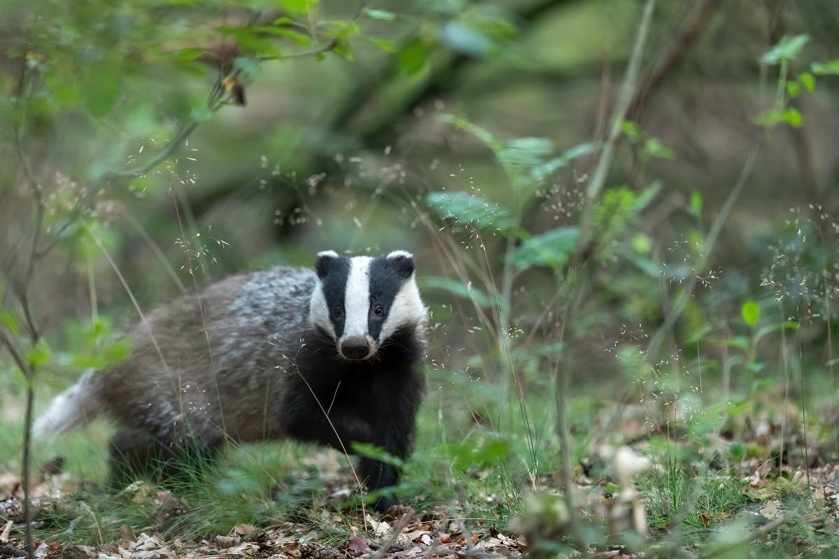 A badger walking through a forest. Badgers have long been persecuted but rewilding in Britain efforts have seen its protection and conservation increased.