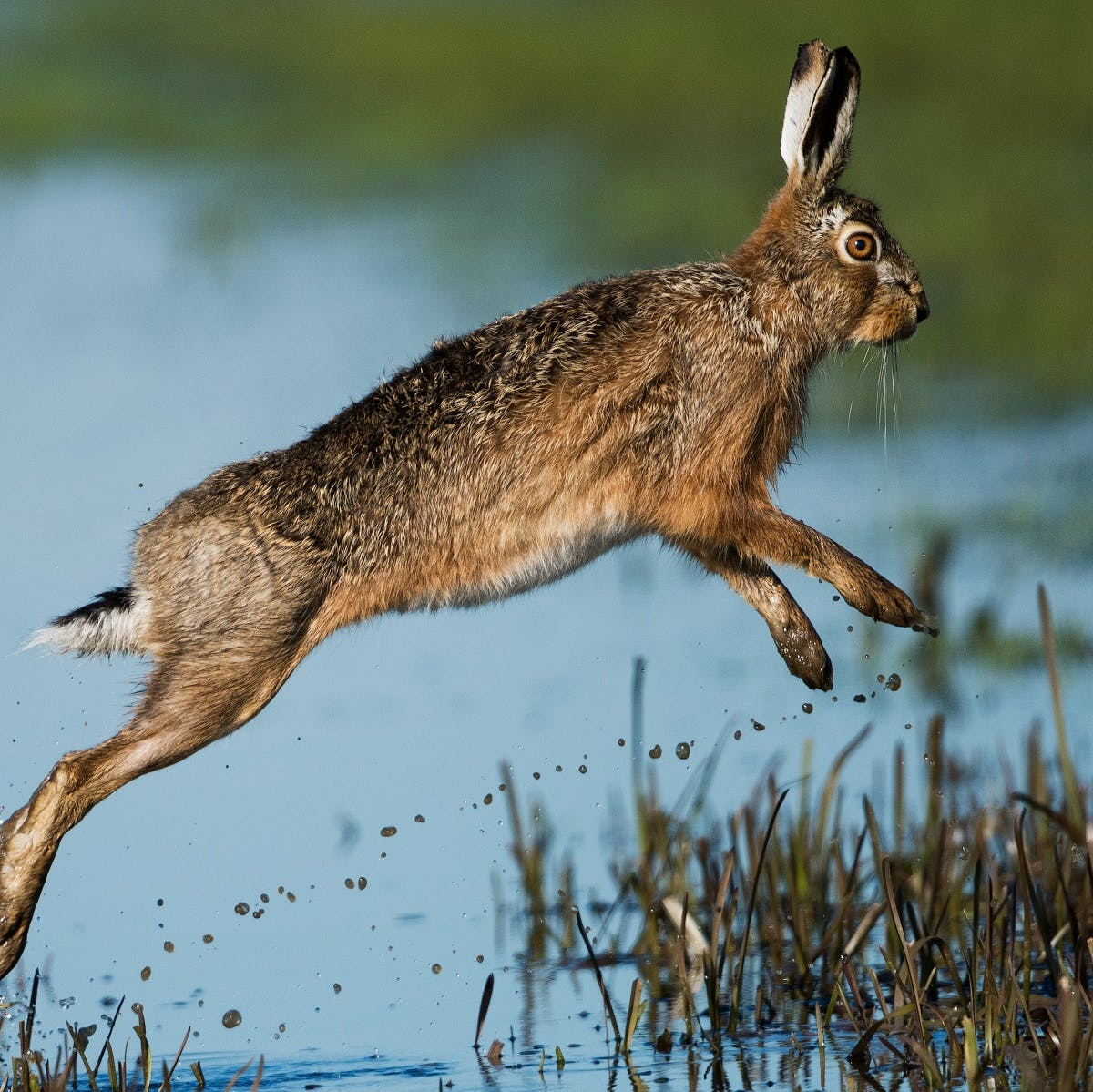 A  hare jumps through water. The hare is synonymous with Irish culture and wildlife in Ireland