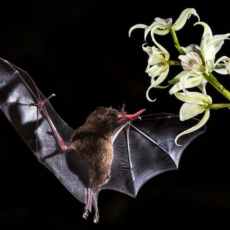 A bat stretches it's long tong to reach a flower mid air in order to feed on the plant's nectar.