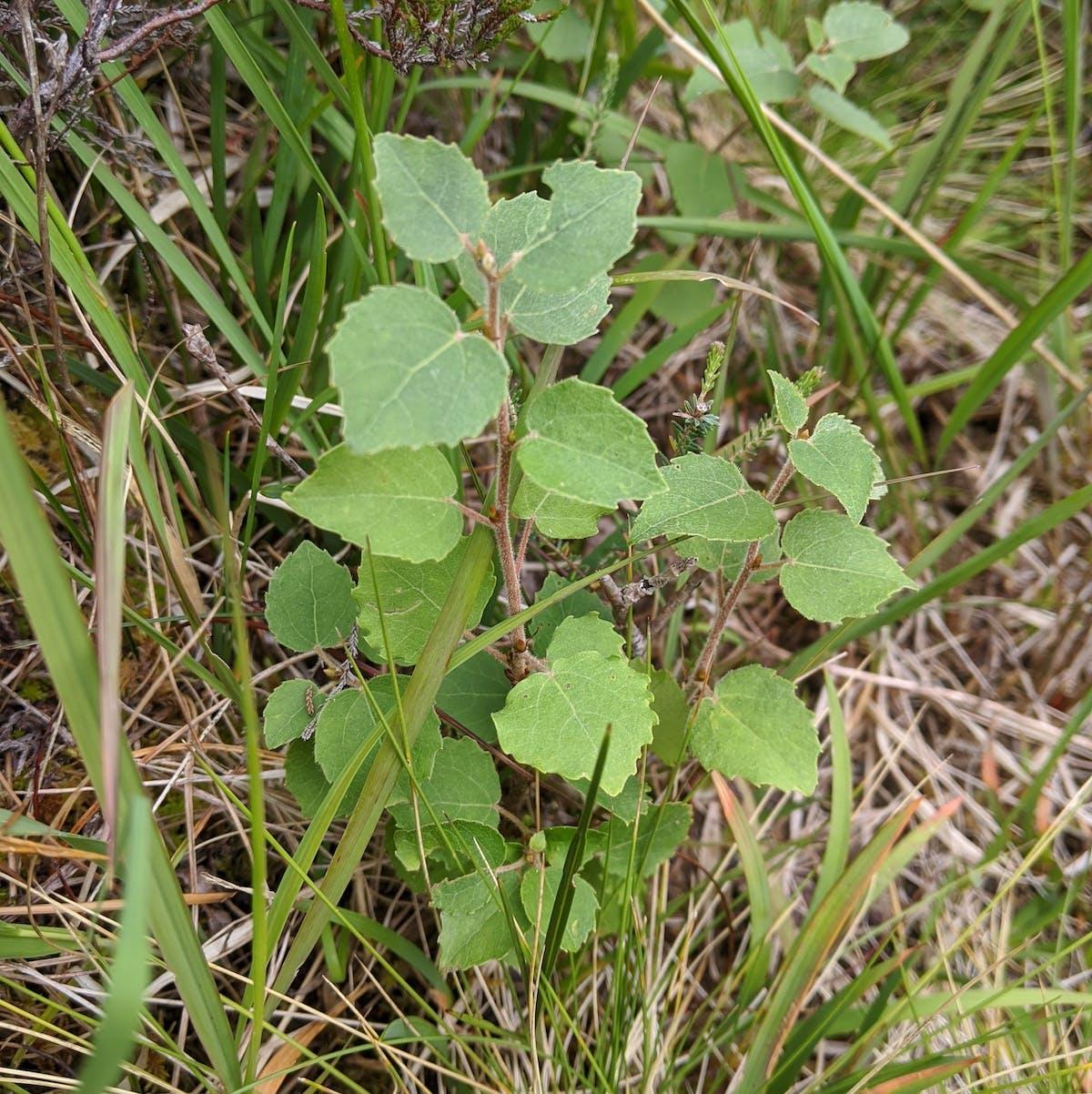 A small aspen seedling growing among dense grass
