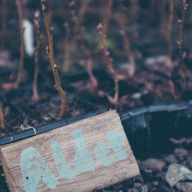 A batch of alder saplings, a native species to Ireland.