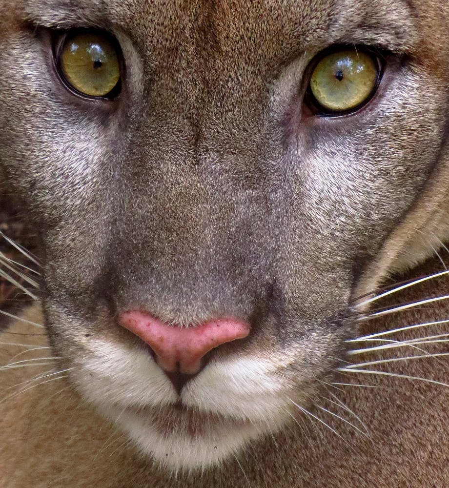 A portrait of Florida panther. The icon beast are the types of wildlife that wildlife corridors help to protect.