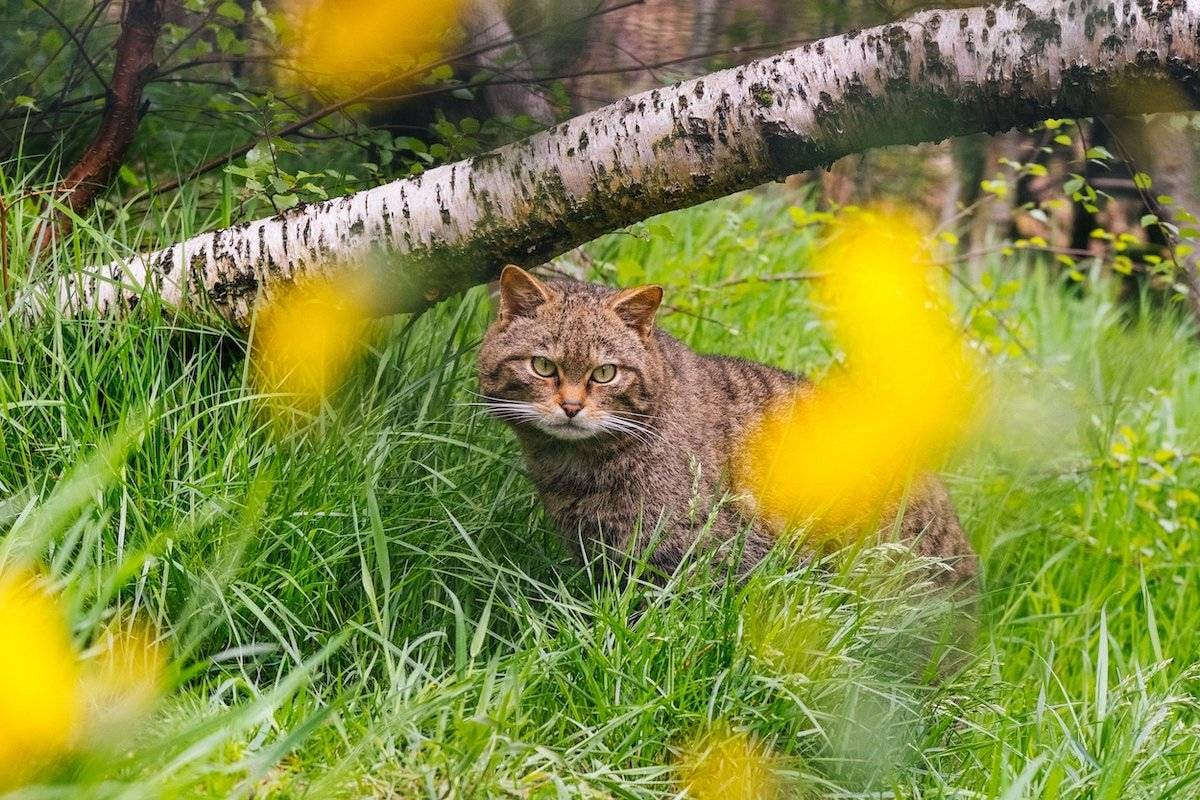 A Scottish wildcat rests in the green grass of its enclosure with a foreground of yellow flowers
