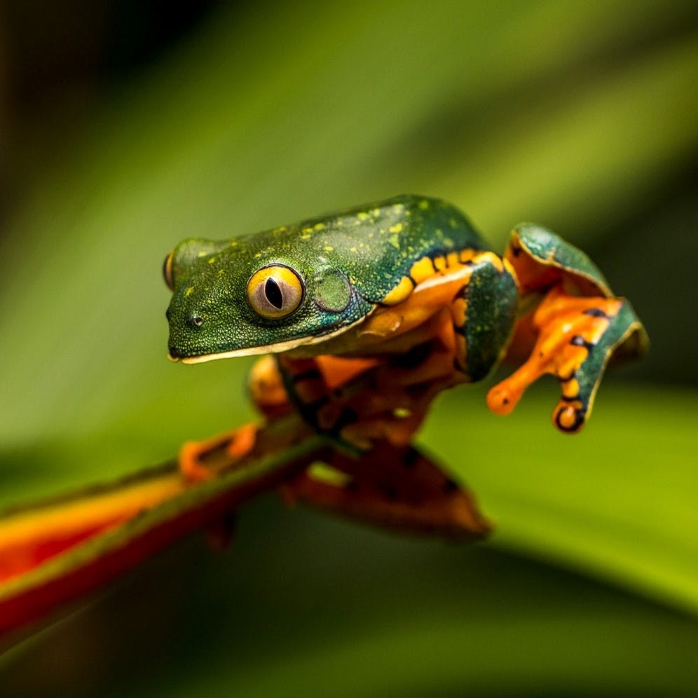 A tropical frog in Costa Rica