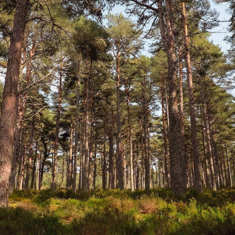 A Caledonian woodland in the Scottish Highlands. Rewilding in Scotland seeks to protect these ancient woodlends