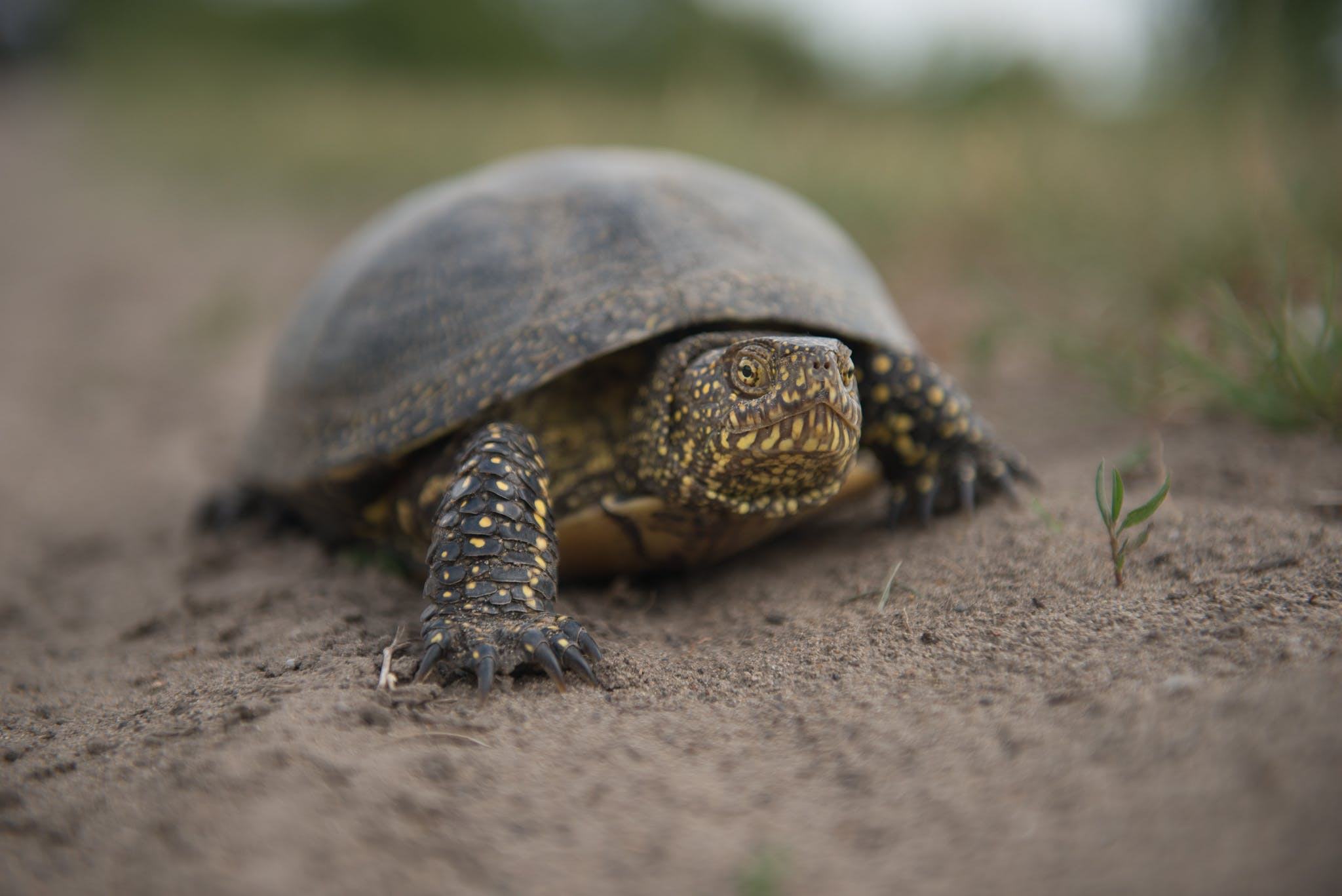 A European pond turtle walking over the sandy substrate of its wetland habitat in Slovakia.