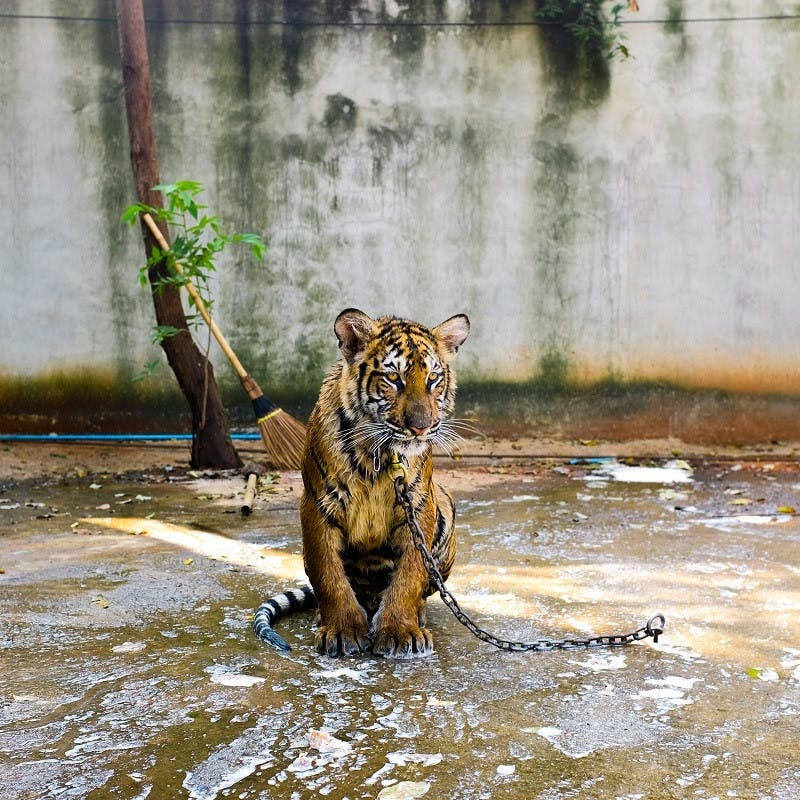 A lonely captive tiger in a concrete pen. A far cry from responsible travel tourism.