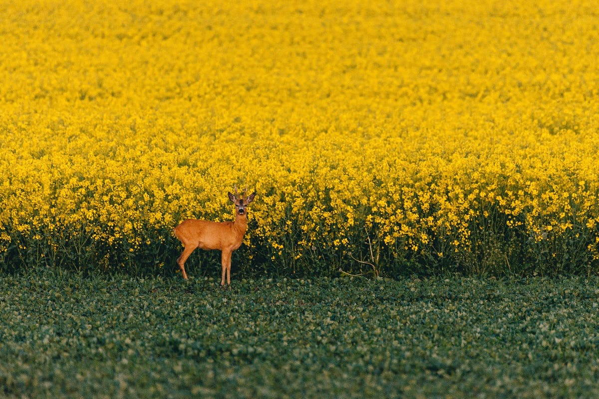 A deer in on the edge of a commercial rapeseed field. George Monbiot's Feral asks whether farming and rewilding can coexist.