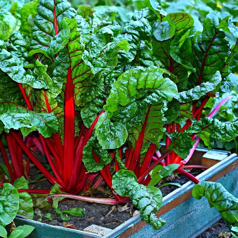 Vibrant Swiss chard in a raised bed