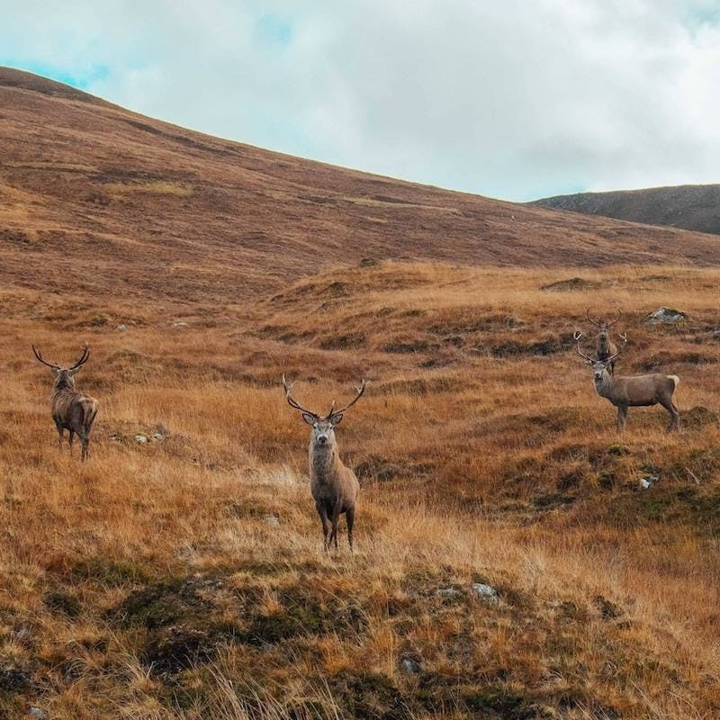 Red deer stags on an open hillside at our rewilding Scotland project area.