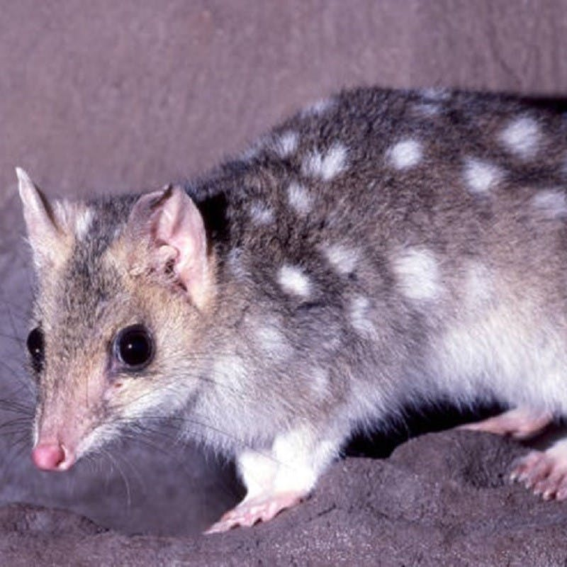 A quoll on a rock.