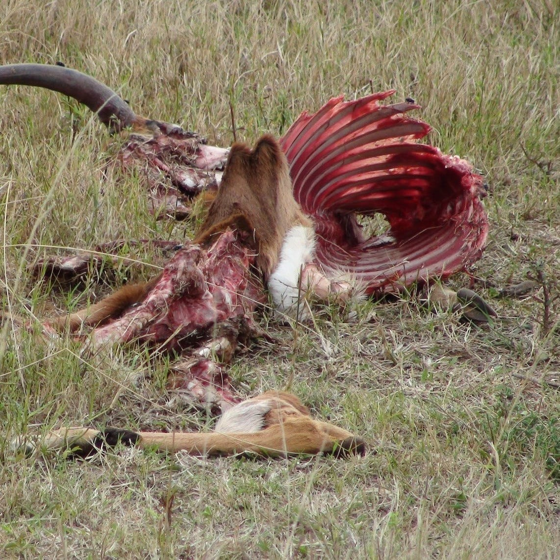 A deer carcass. European brown bears play an important role in culling the weak and cleaning up dead animal carcasses