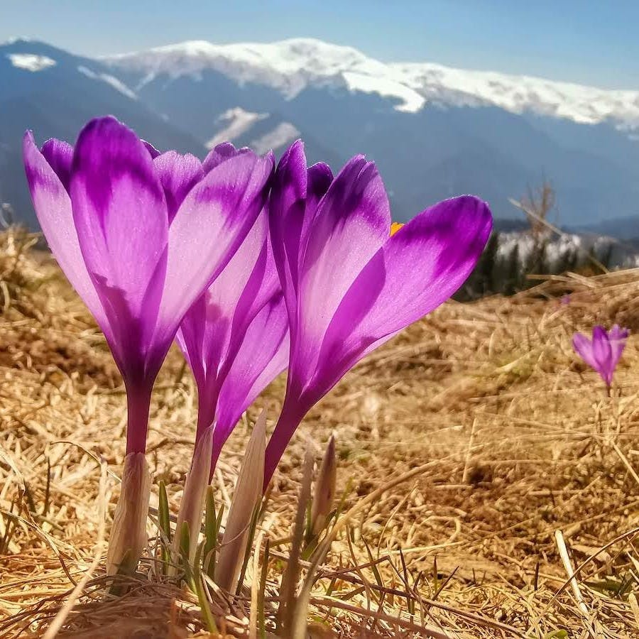 Purple crocus growing amongst dried grass against a backdrop of snow capped mountains