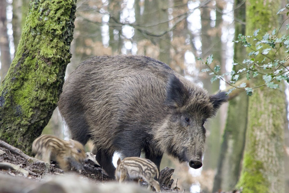 A wild boar in a forest with its young