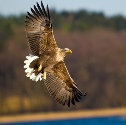 A white tailed eagle soars through UK countryside
