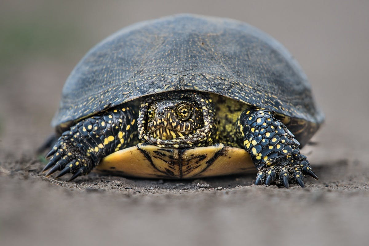 A close up image of a European pond turtle with its head retracted into its shell. GPS tracking is a rewilding intervention aimed at protecting their nests and eggs.