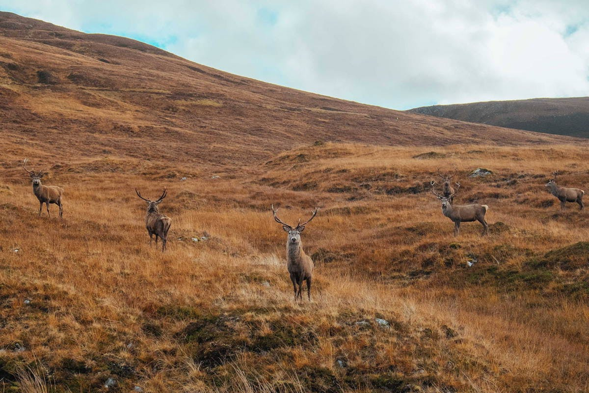 A herd of red deer stand against a backdrop of autumnal hills in the Scottish Highlands.