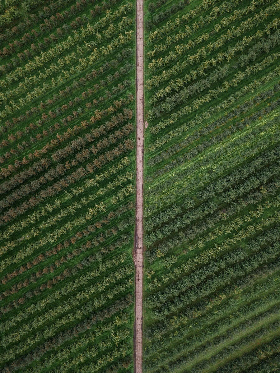 Birds eye view of a monoculture plantation with a straight road dividing it.