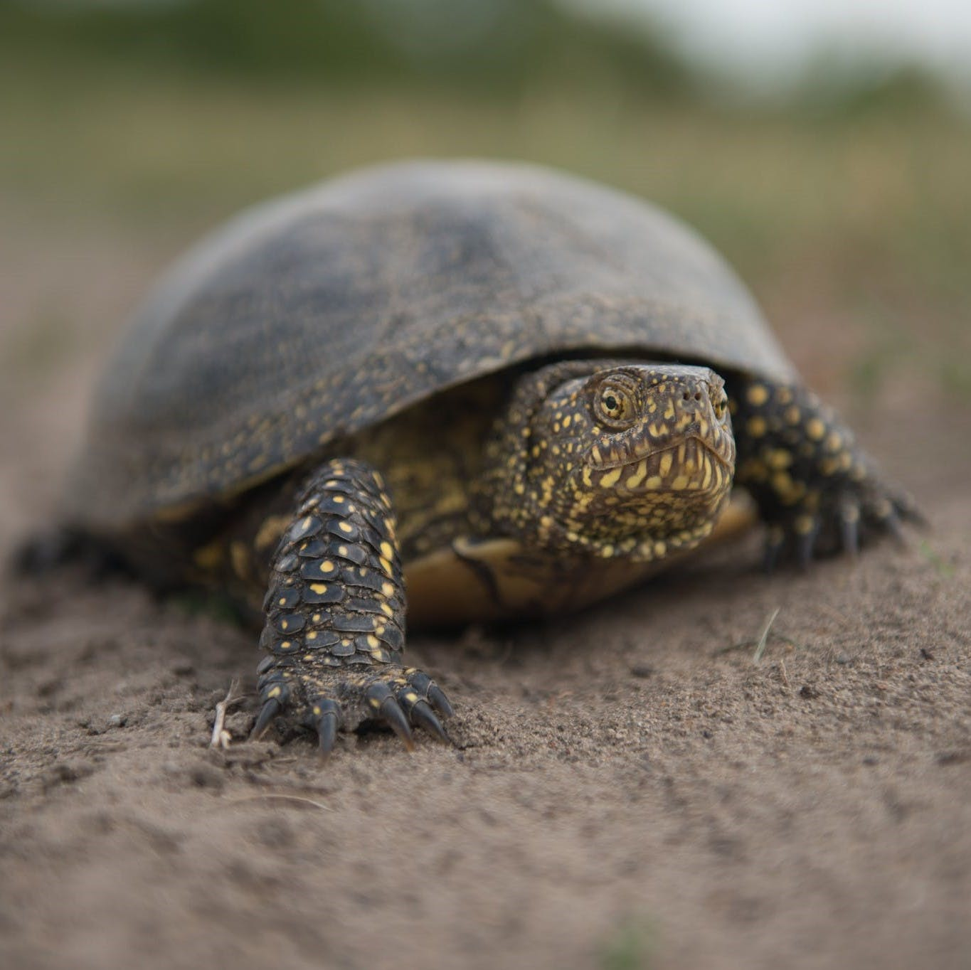 A European pond turtle walking over the sandy substrate of its wetland habitat in Slovakia. Mossy Earth members are helping to protect it through one of our rewilding projects.