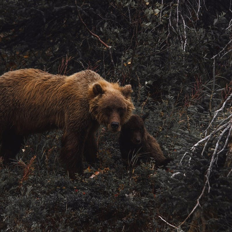 A European brown bear and her cub in woodland.
