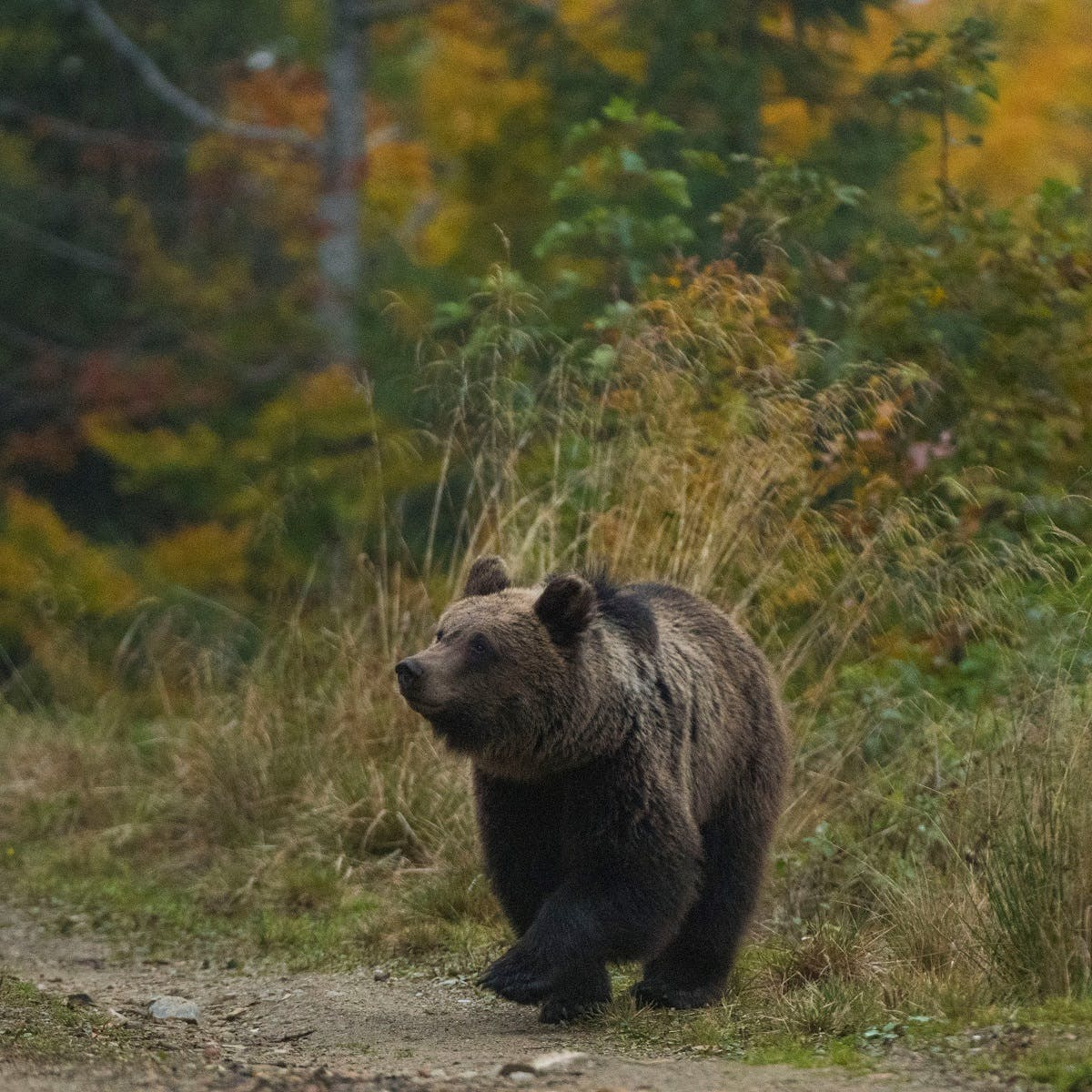 A European brown bear strolls across a forest path in Romania against a backdrop of green and golden leaves