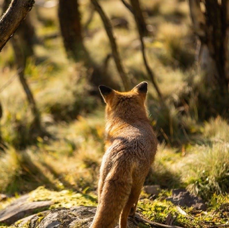An Australian red fox surveys a forested area.