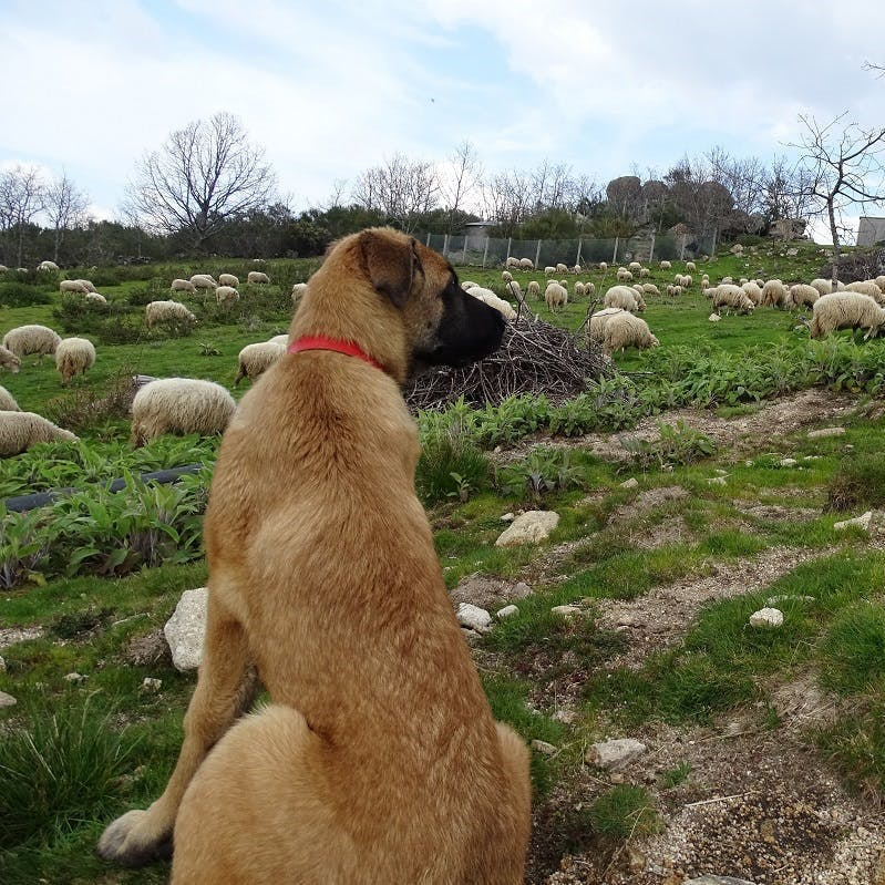 Vigilant livestock guarding dog among his sheep flock, to prevent wolf attacks, in the project area south of the Douro river in Portugal