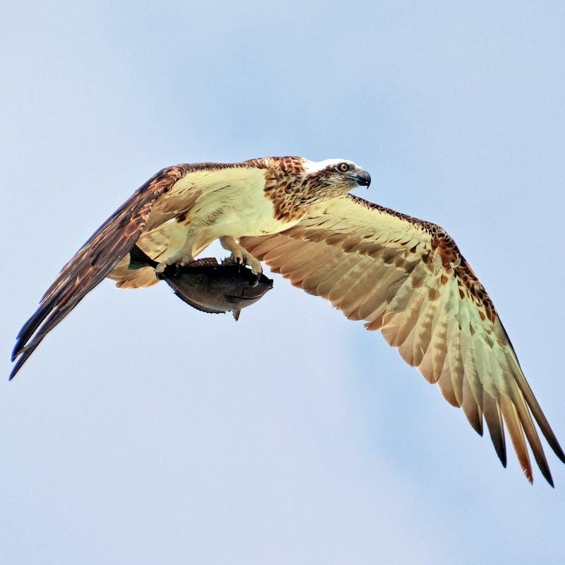 A hawk carries off its prey, a fish.