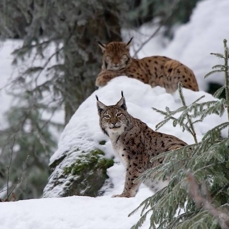 Two Eurasian lynx rest in a snowy forest in continental Europe. Can Britain and Ireland expect predators in their forests in the coming years?