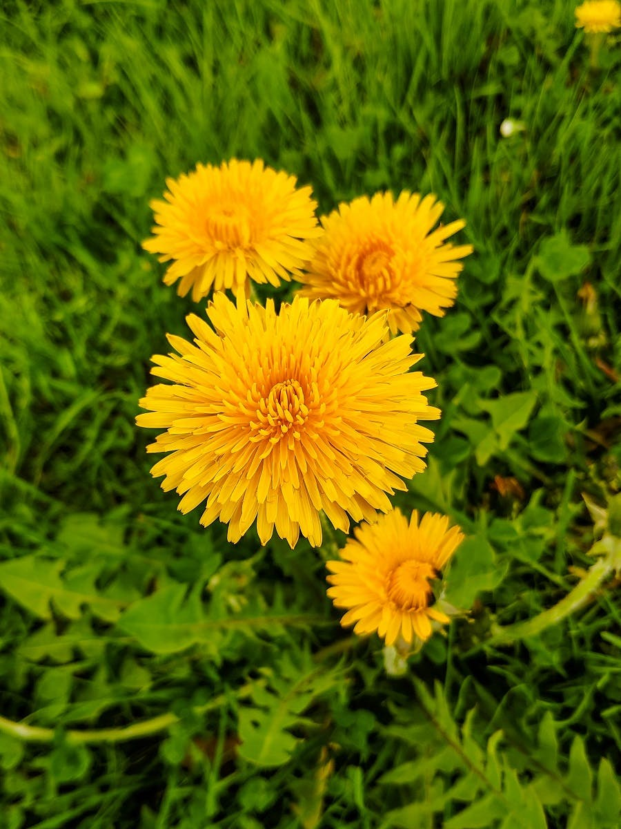 A dandelion in full bloom, an easy starter in the world of wild food foraging.