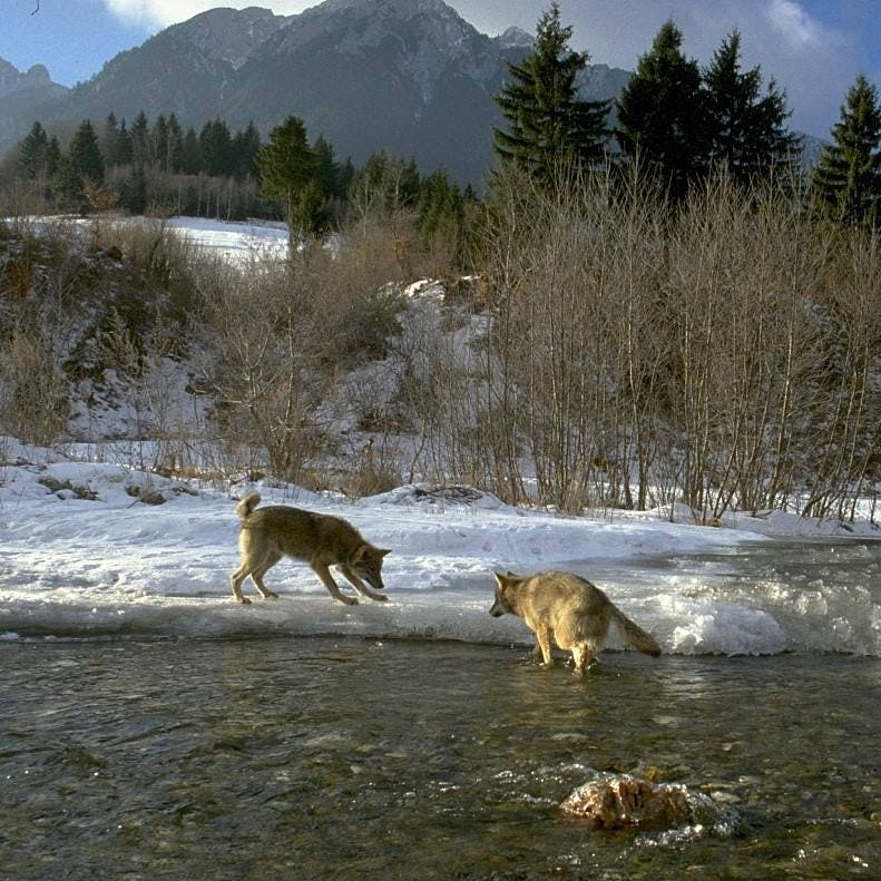 The example of how wolves changed rivers in Yellowstone, is an exemplary example of rewilding.
