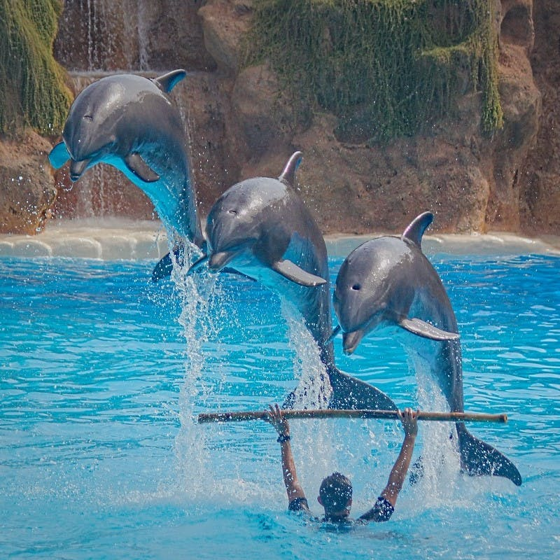 Captive dolphins performing an unnatural show . Keep these responsible travel tips in mind before selecting the attractions you'll visit during your holiday.