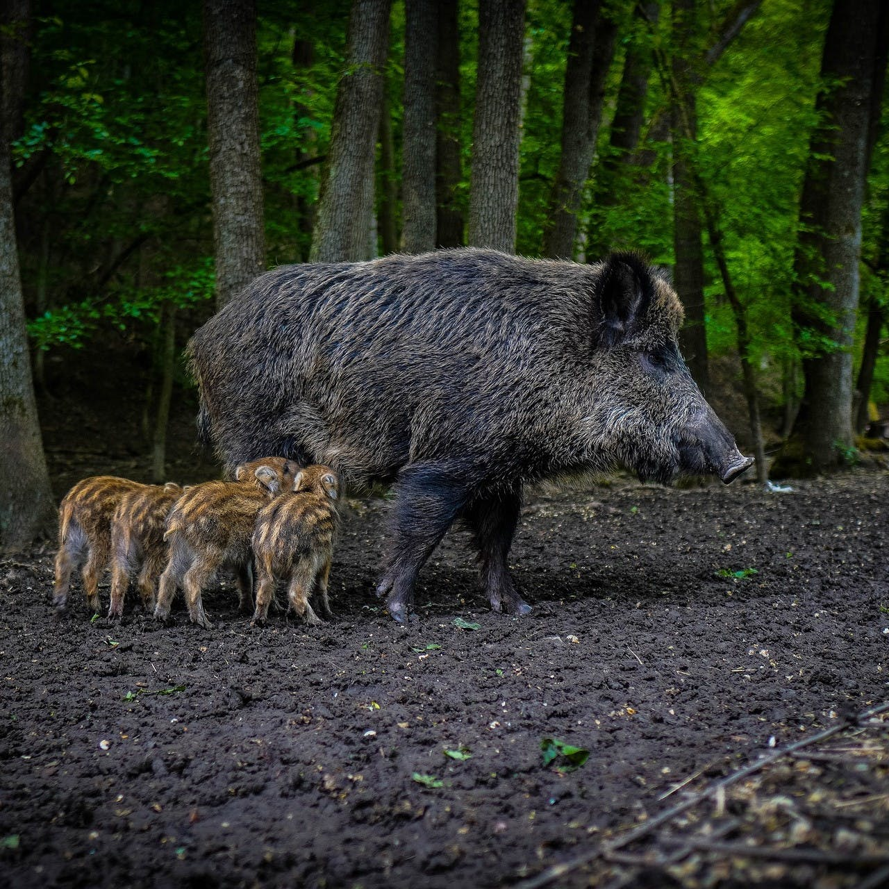 A female boar with her sows