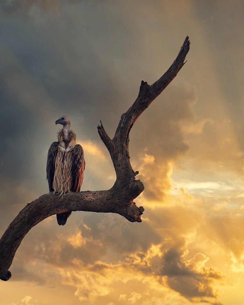 A vulture perched on a branch, this unsuspecting species serves others by naturally managing disease control.