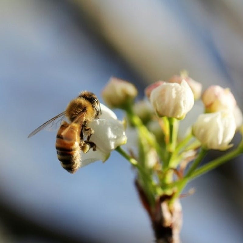 A bee collects a flower's nectar and contributes to pollination.